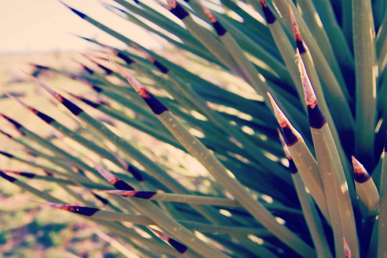 Yucca California Cactus Succulent Molly Bendell Photography